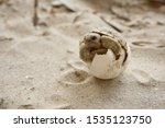 Stock photo africa spurred tortoise are born naturally tortoise hatching from egg cute portrait of baby 1535123750