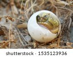 Stock photo africa spurred tortoise are born naturally tortoise hatching from egg cute portrait of baby 1535123936