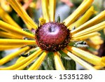 Small photo of Brown Bitterweed (Helenium autumnale) flower