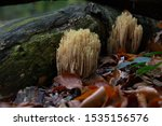 Ramaria Stricta  Commonly Known ...