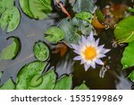 A White Lotus Flower With Wate...