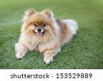 smiling pomeranian relaxing on... | Shutterstock . vector #153529889
