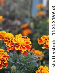Small photo of A multicolor scarab beetle on orange and red marigolds. 3092