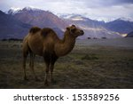 bactrian camels on the nubra... | Shutterstock . vector #153589256