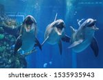 Three Dolphins Swimming In The...