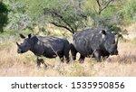 Black Rhinos  Diceros Bocornis...