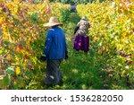 Vineyards Of Wine Area Of...