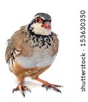Small photo of Red-legged or French Partridge, Alectoris rufa in front of white background