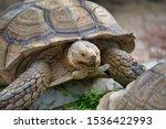 Stock photo desert tortoise also known as desert turtles are two species of tortoise 1536422993