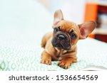Cute French Bulldog Puppy  Two...