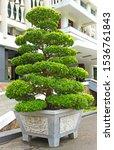 Big Traditional Green Bonsai...