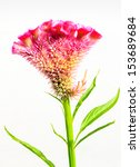 Small photo of AMARANTHACEAE,Wool flower, Cockscomb isolated on white background