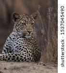A Young Leopard Cub Gets Woken...