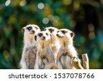 Family Portrait Of Meerkats...