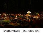 Lonly Mushroom In The Belgian...