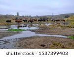 Cows On The Stony Field