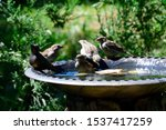 Swarm House Sparrow In A Bird...
