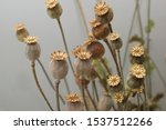 Autumn Bouquet Of Dried Poppies