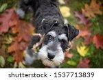 Black And Silver Schnauzer Dog...