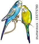 budgerigars australian... | Shutterstock .eps vector #153773780