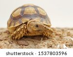 Stock photo close up african spurred tortoise resting in the garden slow life africa spurred tortoise 1537803596