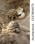 Stock photo africa spurred tortoise are born naturally tortoise hatching from egg cute portrait of baby 1537804073