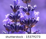 Blue lavender in garden on a summer day - stock photo