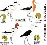 Birds Collection Avocet Birds...