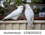 Sulphur Crested Cockatoo On A...