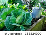 White Cabbage Growing In Home...
