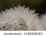 close up mammillaria cactus...   Shutterstock . vector #1538308283
