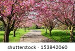 cherry blossom path through a... | Shutterstock . vector #153842060