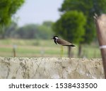 Small photo of The red-wattled lapwing (Vanellus indicus) is an Asian lapwing or large plover, a wader in the family Charadriidae. Like other lapwings they are ground birds that are incapable of perching.