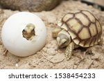Stock photo africa spurred tortoise are born naturally tortoise hatching from egg cute portrait of baby 1538454233