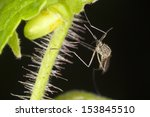 Small photo of Aedes sticticus mosquito on leaf