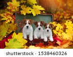 Stock photo three cute beautiful little puppies jack russell terrier dogs sitting in autumn on the vintage 1538460326