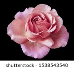 Isolated Pastel Pink Rose...
