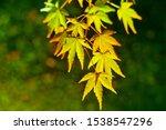 Maple Leaves Displayed At Nigh...