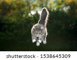 Blue Tabby Maine Coon Cat With...