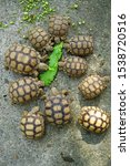 Stock photo close up african spurred tortoise resting in the garden slow life africa spurred tortoise 1538720516
