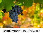 Ripe Grapes Growing On The...