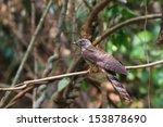 the hodgson's hawk cuckoo ... | Shutterstock . vector #153878690