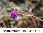 Small photo of Purple blossoms divulge identity of this native Southern Mojave Desert plant in Joshua Tree National Park, commonly known by the name Trailing Allionia, botanically recognized as Allionia Incarnata.