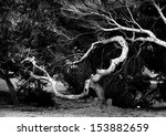 Ancient Trees Branch. Black An...