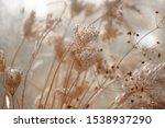 Dried Wild Carrot Flowers ...