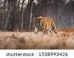 Siberian Tiger Running In Snow...