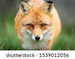 Portrait Of A Red Fox In The...