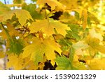 Maple Leaves Autumn Background  ...