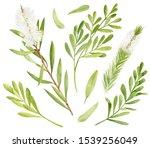 Watercolor Tea Tree Leaves ...