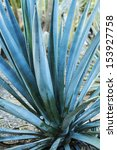 Small photo of Agave tequilana.